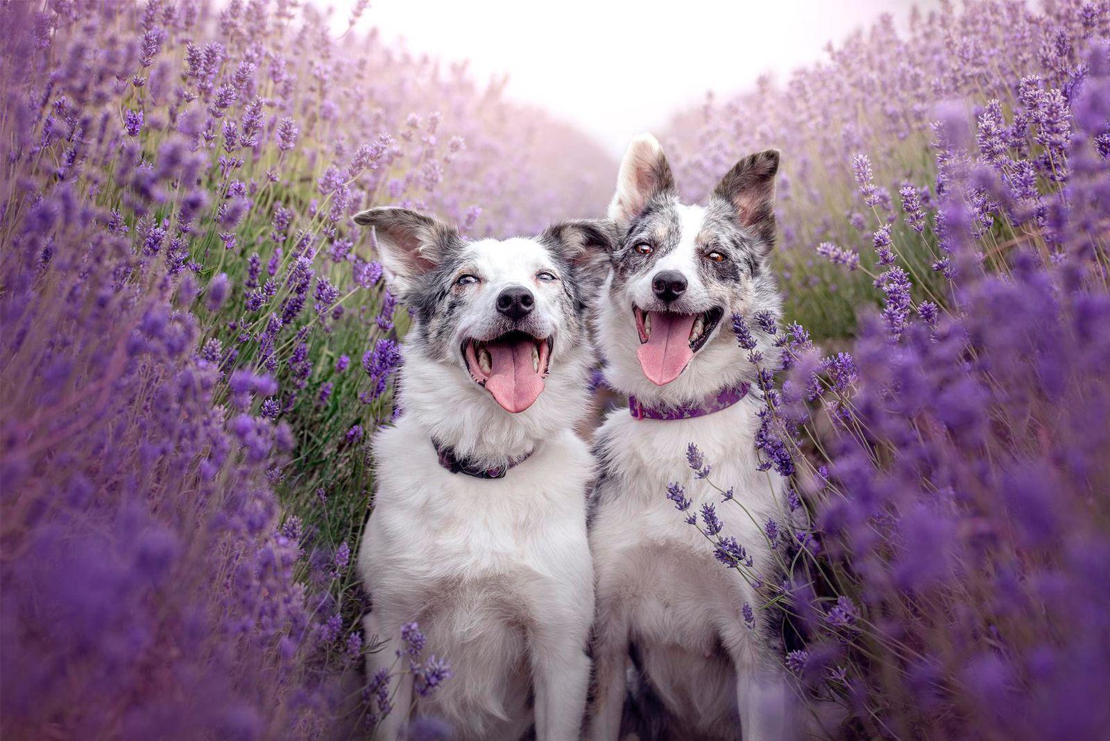 Lavender Princesses