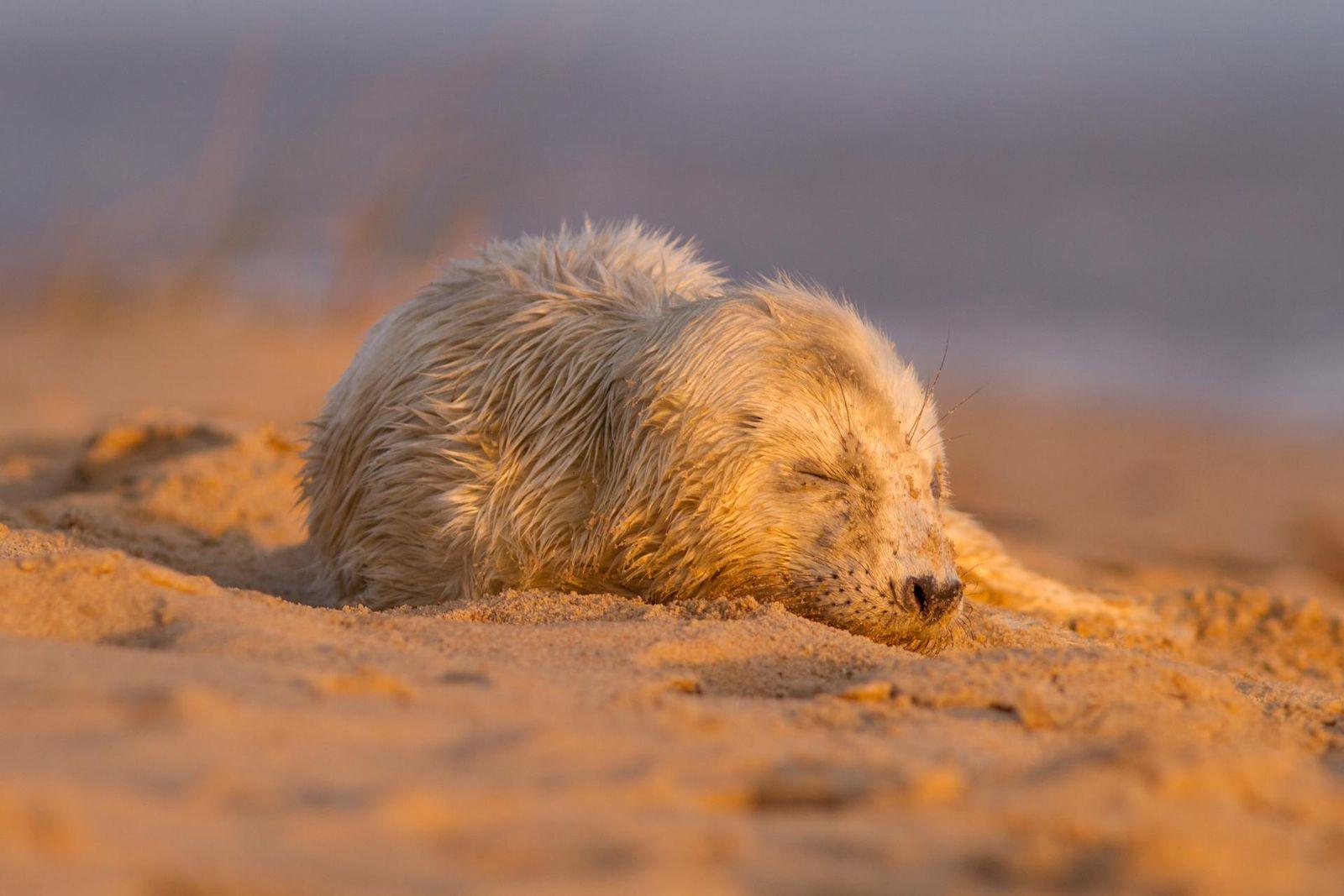 Seal pup sunrise