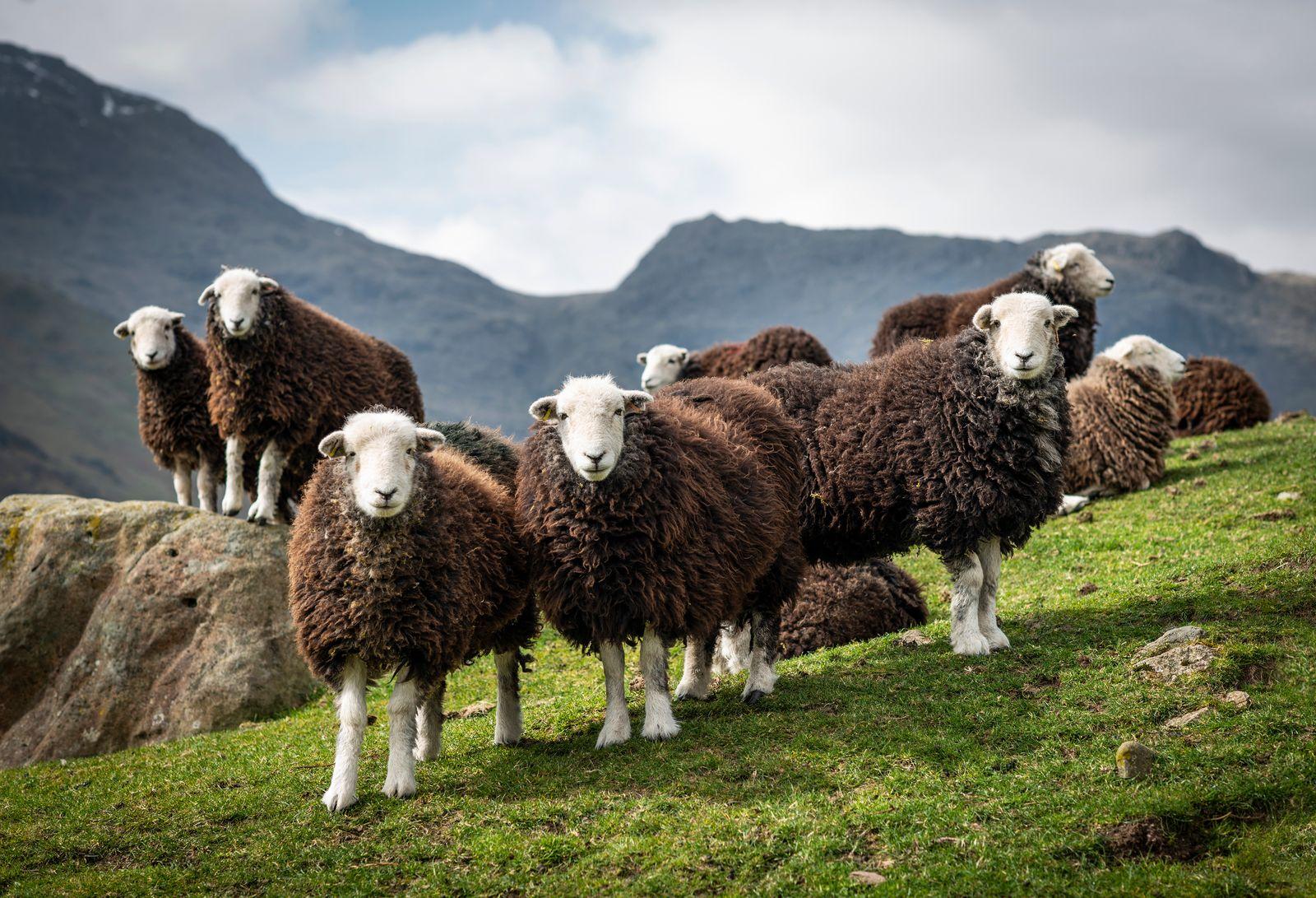 Herdwick Shearlings