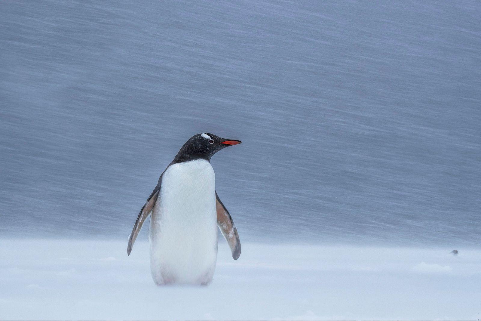 Penguin snowstorm
