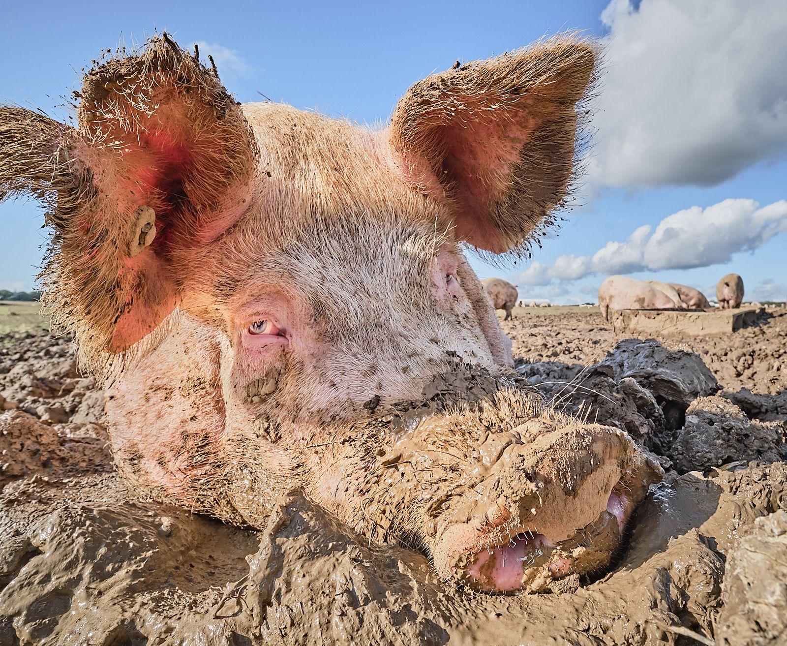 Pig Portrait: Abigail