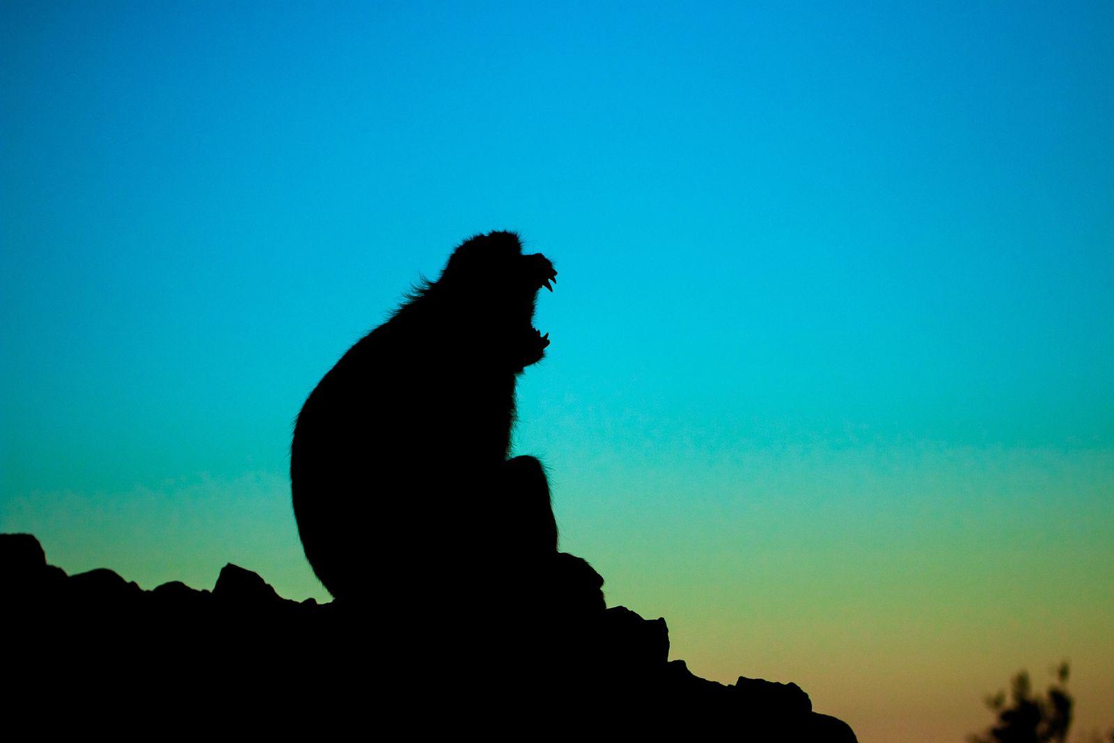 Macaque of Dawn