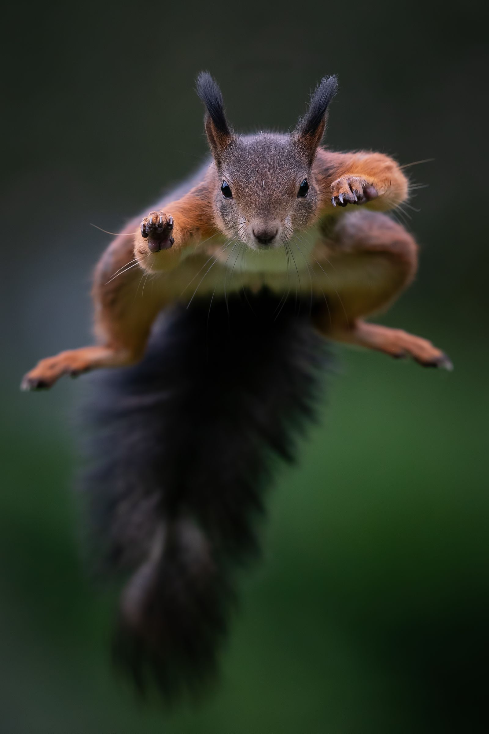 Bobby the jumping squirrel