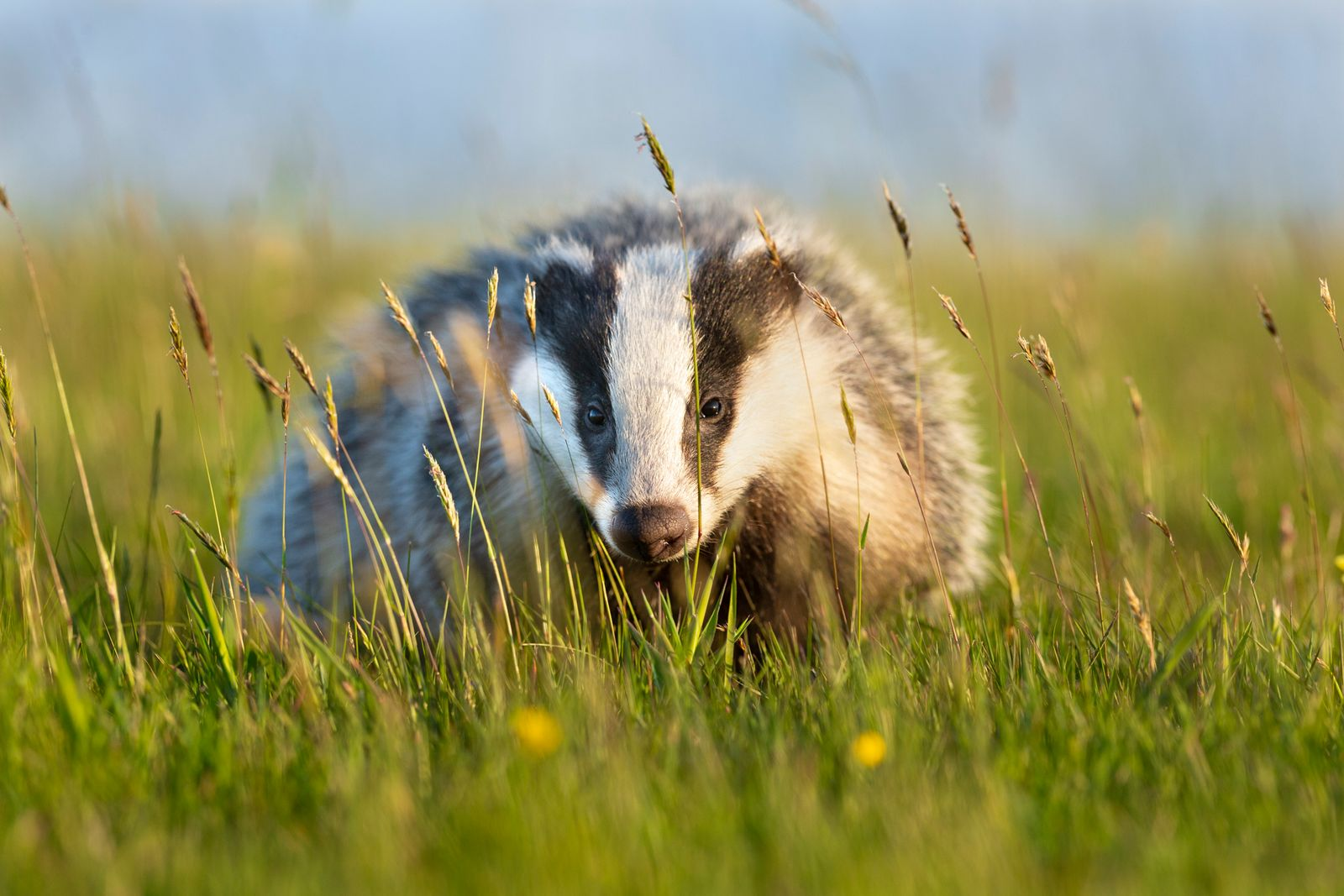 Badger Pose