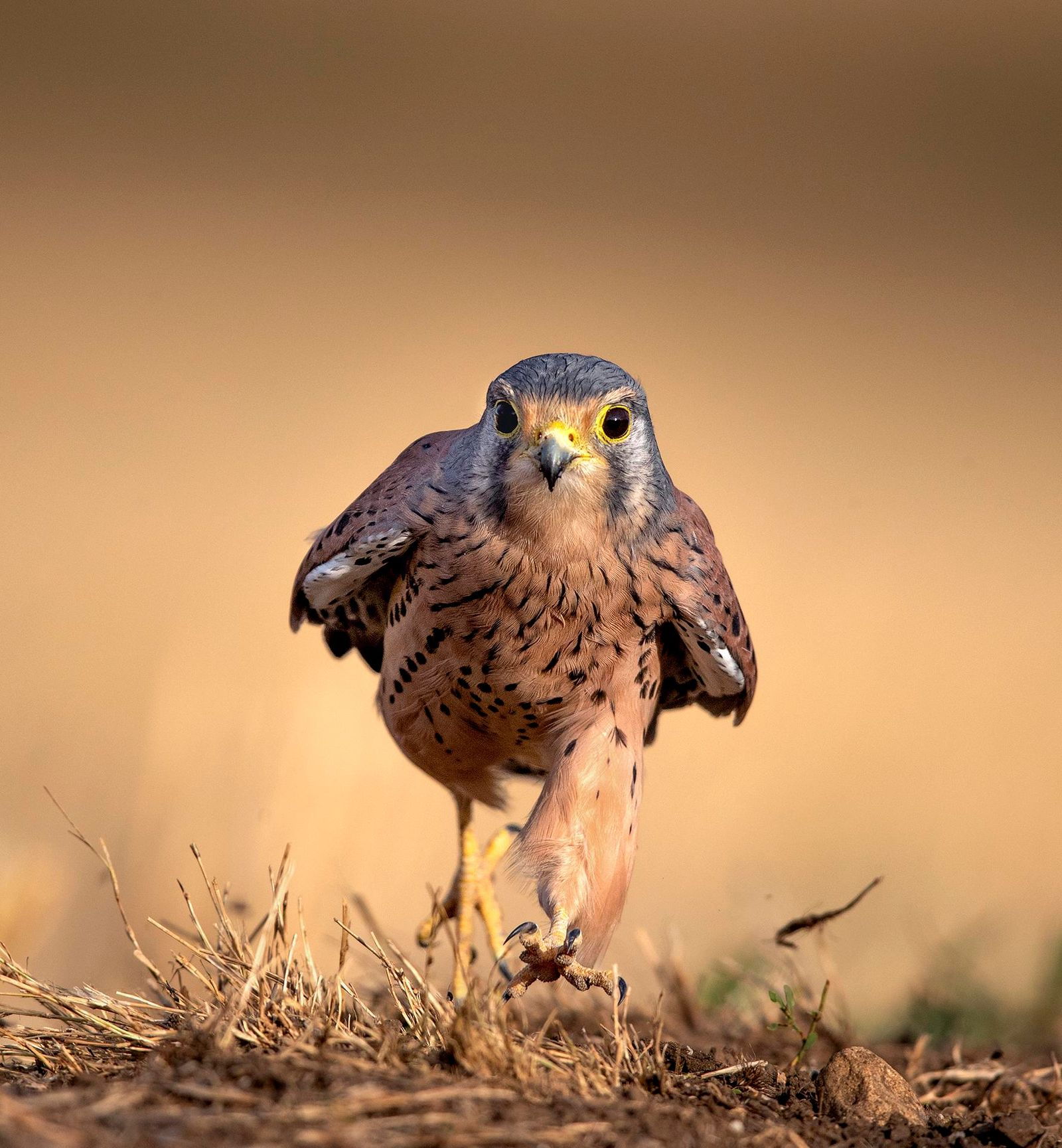 Male Kestrel running