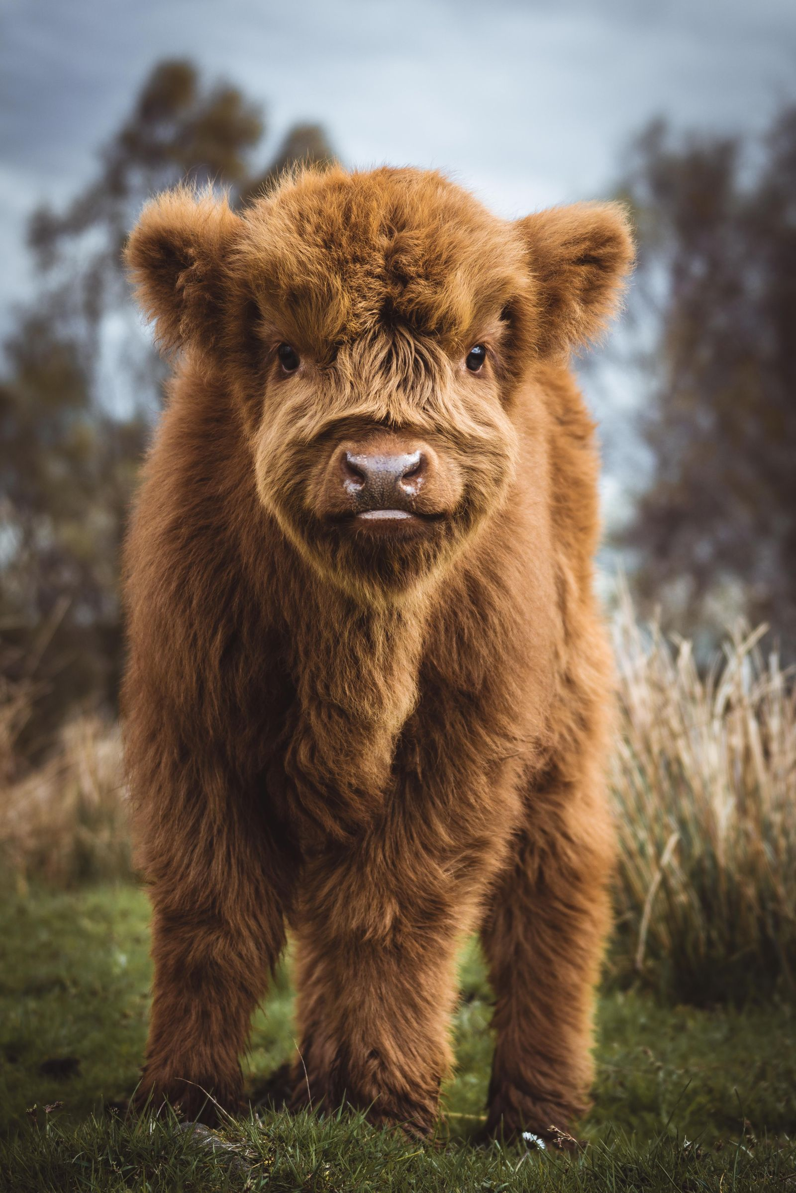 Curious Highland Calf