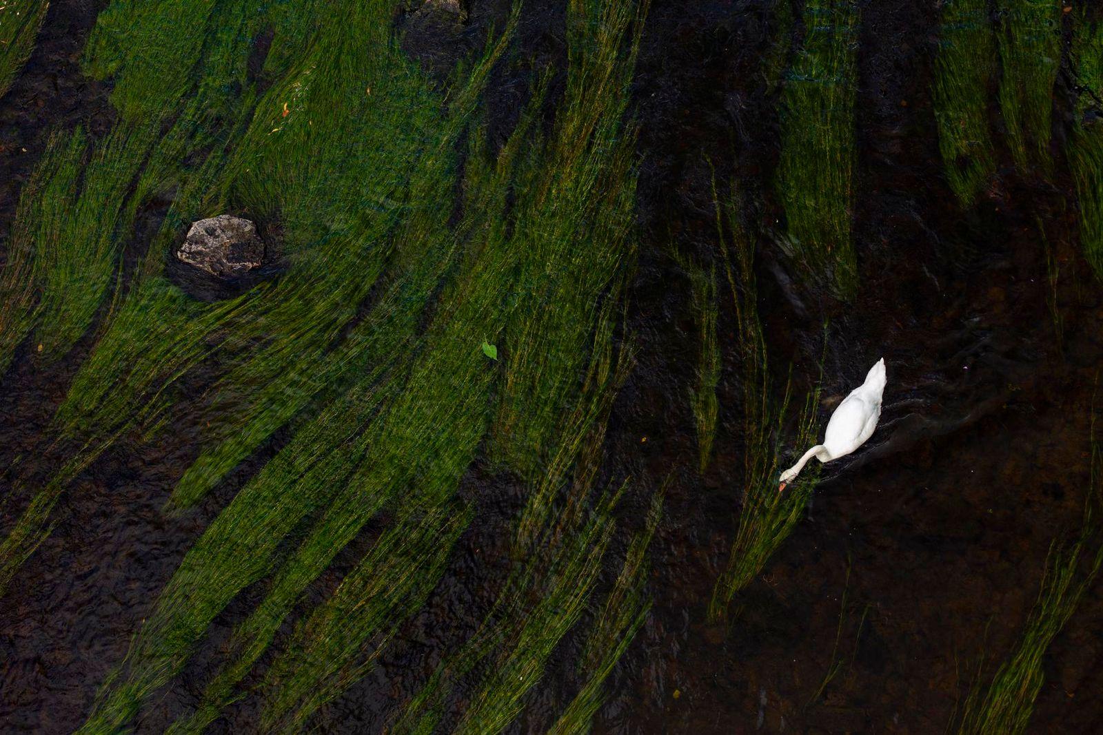 Swan Feeding on the River Wye